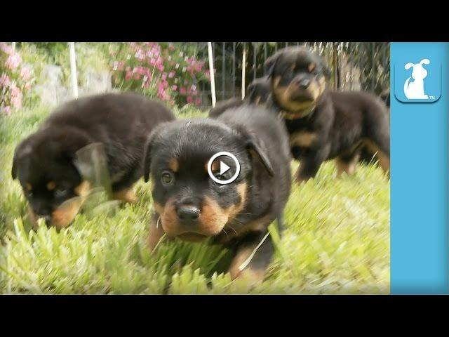 Amazing Rottweiler Puppies Cutest Compilation Ever Puppy Love